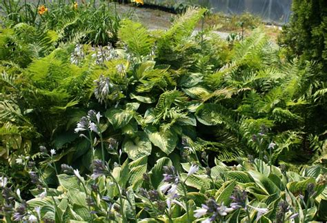 why grow hardy ferns for texture form contrast in
