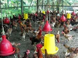 Viterna Ternak Nasa Serbuk Vitamin Untuk Mempercepat Pertumbuhan cara cepat budidaya ternak ayam kung dengan teknologi