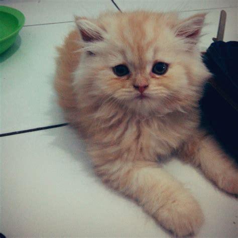 So Untuk Kucing Anggora oktober 2013 angga sanusi