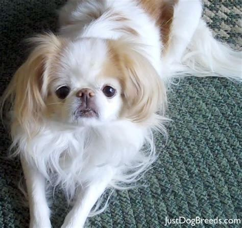 asian breeds japanese chin breed infromation pictures recognition etc to breeds picture