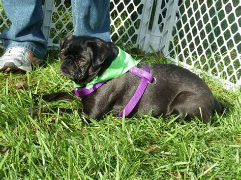 pug rescue montana montana pug partners of nebraska