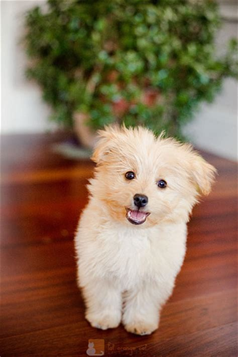 pomeranian poodle puppy pomapoo pomeranian poodle mix info temperament puppies pictures