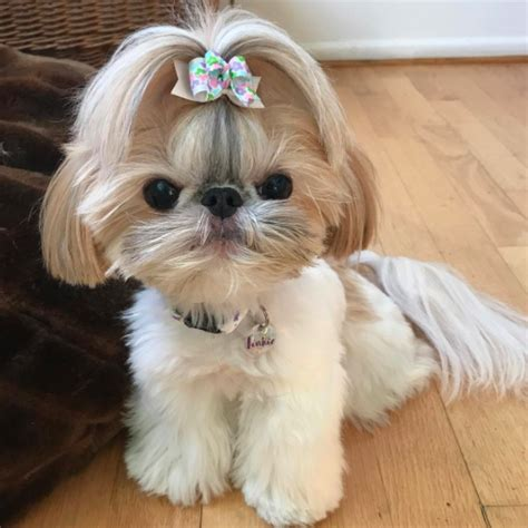 why do pugs bark so much cutest shih tzu puppy in the world pug jokes