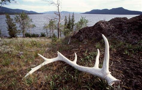 Horns Garden Sheds by 17 Best Images About Antler Sheds On Horns