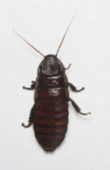 scarafaggio senza testa scarafaggi parassiti delle piante come eliminare gli