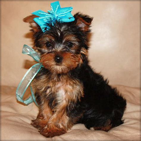 teacup yorkie breeders australia lovely teacup terrier puppies for sale sydney dogs for sale puppies for