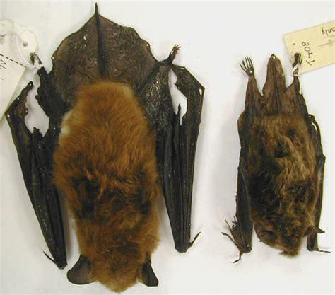 bat removal wisconsin bohmz pest control bat exclusion