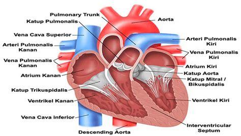 mengenal bagian bagian jantung manusia
