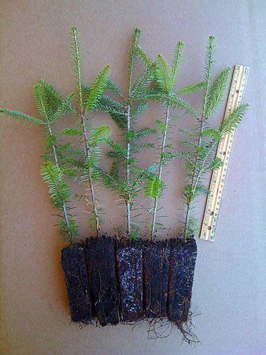 balsam fir tree plug transplants 5 pack shown tree
