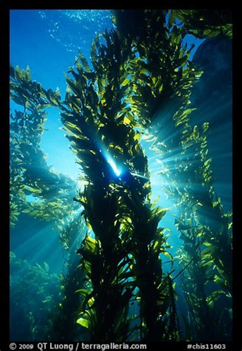 kelp bed picture photo kelp bed with sunrays annacapa marine reserve channel islands