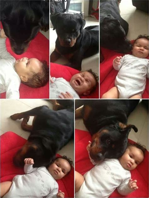 why does my rottweiler sit on me best 25 rottweiler ideas on