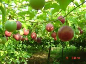 Passion Fruit Plant Diseases - 百香果 花卉百科 园艺维客 维客 21yyw com powered by hdwiki