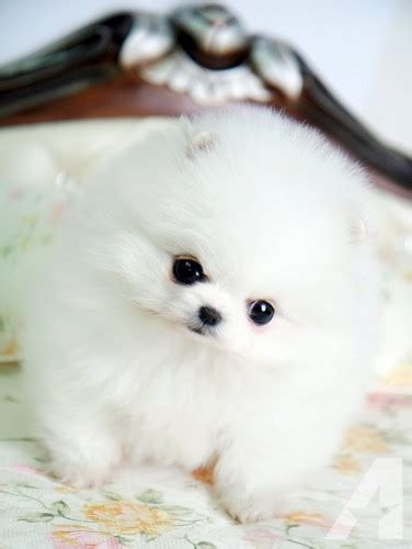 pomeranian puppies for sale in ky teacup pomeranian puppies for sale in ashland kentucky classified americanlisted