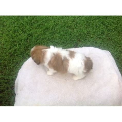 shih tzu bakersfield shih tzu puppies and dogs for sale and adoption