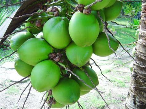 Kekuatan Es Kelapa Muda kekuatan air degan kelapa muda
