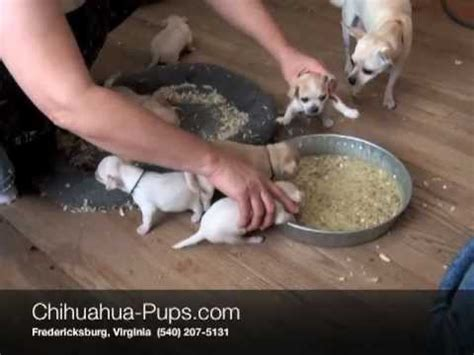 weaning puppies at 5 weeks easy healthy puppy food recipe home made rottweilervideos