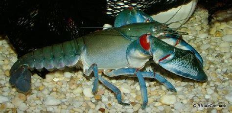 kumpulan gambar lobster air tawar terbesar  dunia