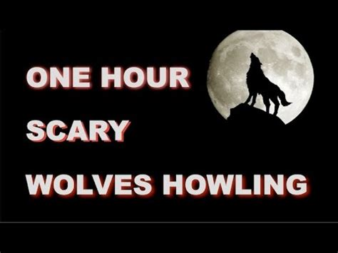 howling sounds wolves howling in nature doovi