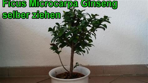 bonsai selber ziehen ficus microcarpa ginseng selber ziehen bonsai