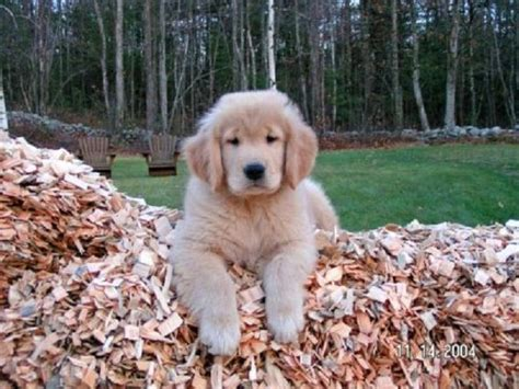 golden retriever dogs for sale in michigan pin by endar vitria on baby animals