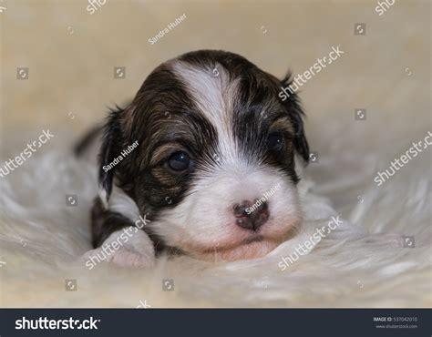 newborn havanese puppies newborn havanese puppy stock photo 537042010