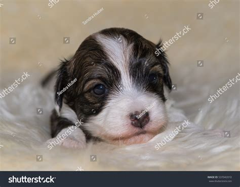 havanese newborn puppies newborn havanese puppy stock photo 537042010