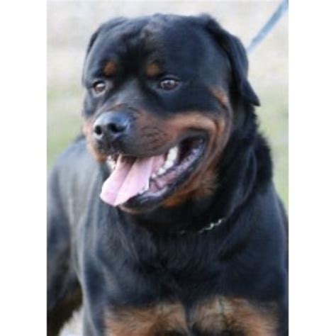 rottweiler breeders in scotland rottweiler studs in scotland wales and northern
