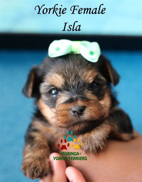 free puppies riverside teacup yorkie riverside ca breeds picture
