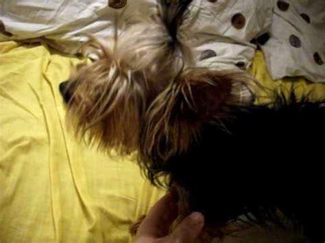 yorkie choking yorkie i need some answers my yorkie has collapsed trachea