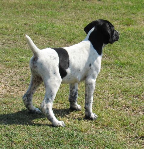 german shorthaired pointer puppies for sale in nc gsp puppy available 5 11 2017 creek preserve llc