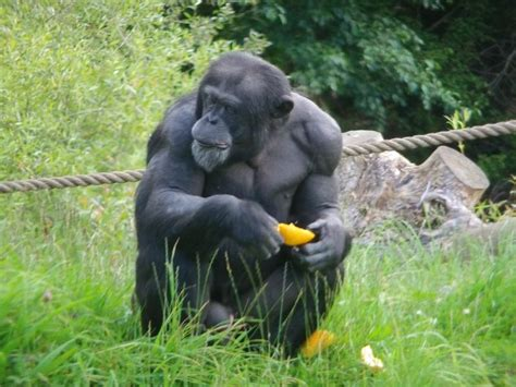 how much can a chimpanzee bench press animals that spent much time at the viewkick