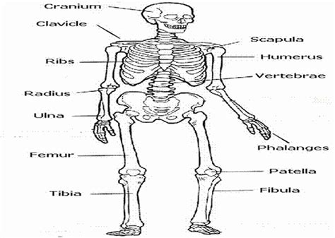 skeletal system free coloring pages of harvard logo