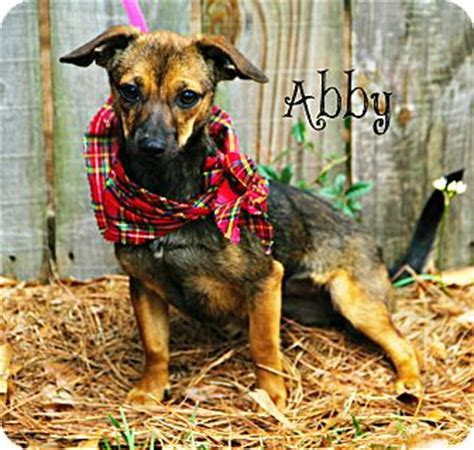 adoption new orleans new orleans la dachshund chihuahua mix meet abby a for adoption