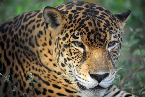 costa rica rescue las pumas rescue center costa big cat center vermont photographers david