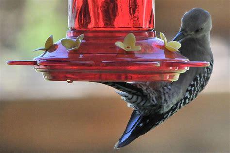 other birds that visit hummingbird feeders