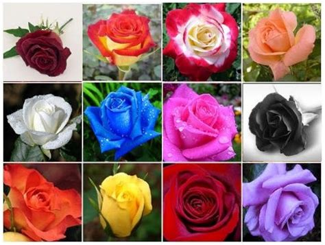 what do the colors of roses did the flower come or did the color