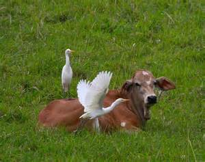 One example of commensalism is