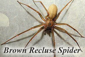 how to get rid of spiders in christmas tree how to get rid of a brown recluse spiders complete guide from a to z http pestkill org insect
