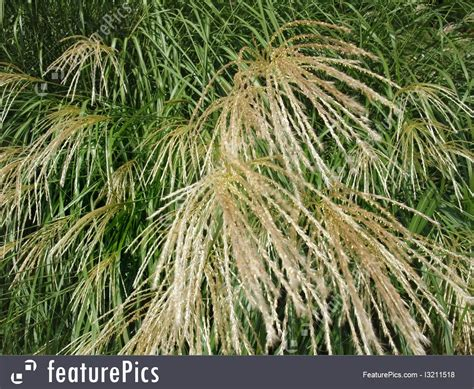 decorative grass plants plants decorative grass detail stock picture i3211518