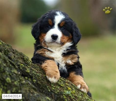 puppies in pennsylvania pin by lancaster puppies on bernese mountain dogs