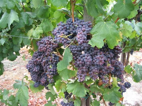 how to care for old grapevines garden guides