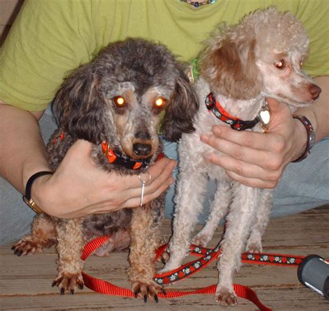 mini poodle weight poodle size weight basic question poodle forum