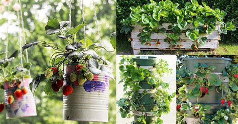 unbeatable diy ideas  growing strawberries