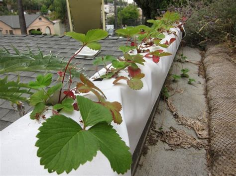 Gutter Strawberry Planter by Self Watering Containers Root Simple