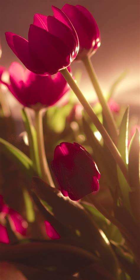 tulip ultra hd wallpaper