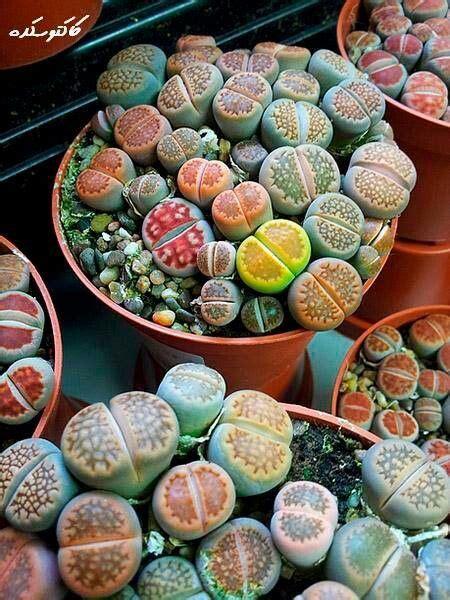 Garten Terrasse Ideen 4247 by Bunte Lebende Steine Plantlady Steine