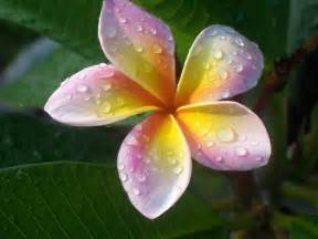flower picture plumeria flower desktop wallpaper