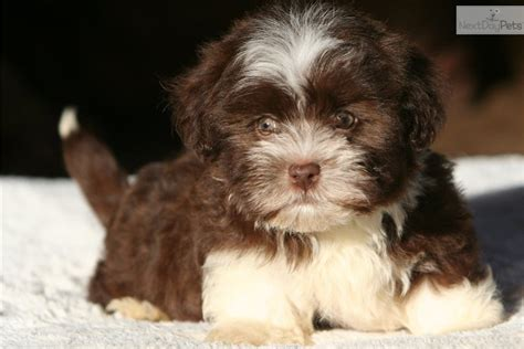 havanese chocolate puppies brown havanese puppies www imgkid the image kid has it