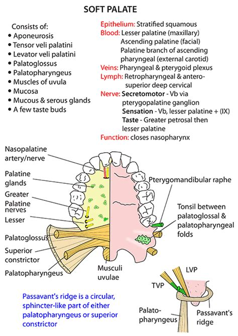 palate diagram instant anatomy and neck muscles palate