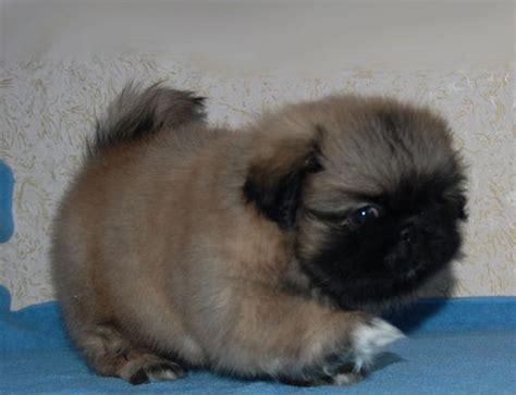 pictures of pekingese puppies pekingese puppies 30 pictures dompict